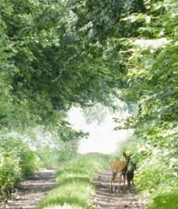 Passend zur Jahreszeit. Eine Ricke mit ihrem Kitz am Rande des Weges, den sie gerade überqueren will. Gesehen am letzten Samstag.