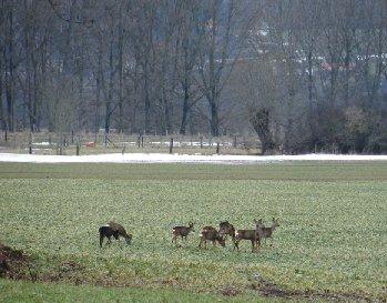 Neun Rehe in der Wesermarsch