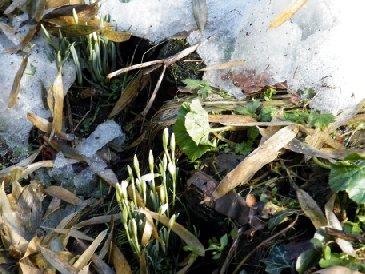 Schneegloeckchen wagen sich hervor