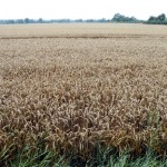 Dieser Weizen wartet auf trockenes Wetter fuer die Ernte