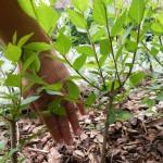 Zum Groessenvergleich meine Hand an der Pflanze