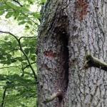 Auf diesem Bild kann man Wächter-Bienen am Baum schoen erkennen.