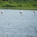 Hier suchen die Flamingos ihre Nahrung, indem sie das Wasser durchfiltern und die Kleinlebewesen verwerten.