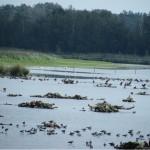 Im Vordergrund sind eine Menge Kiebitze, dahinter Gaense, Enten Kormorane und ganz hinten auch drei Flamingos.