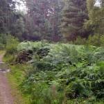 Das Farnkraut steht im Sommer oft mehr als zwei Meter hoch.