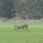 Zwei der zahlreichen Rehe auf einem Feld am Rande des Waldgebiets Kraehe bei Nienburg