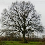 Ein praechtiger alter Baum, dessen Ausstrahlung man sich nicht entziehen kann. Solche gibt es hier noch mehr.