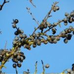 Die Hecken sitzen jetzt voll von Beeren verschiedener Arten.