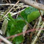 Eine der fruehen Pflanzen im Jahr ist bei uns der gefleckte Aronstab