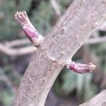 Der Holunder gehoert jedes Jahr zu den Gehoelzen, die am fruehesten ausrtreiben