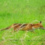 Fuchs auf der Pirsch - vorwiegend nach Maeusen
