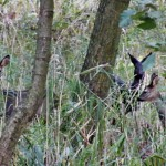 Das Rehwild gibt es fast überall bei uns. In manchen Regionen kommen auch schwarze Exemplare vor.