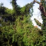 Clematis tangutica Mongolische Waldrebe im Hintergrund ist recht schnellwuechsig, der Efeu vorn wächst an einem toten Kirschbaum