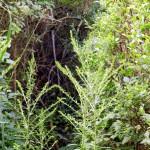 In der Ansammlung von Aesten und Zweigen der Hecke hat in diesem Jahr (mindestens) der Laubsaenger gebuetet