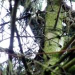 Zeitweise hat eine Waldohreule die Fichten am Grundstuecksrand als Winterquartier benutzt.