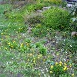 Spaeter werden hier (einheimische) Stauden erscheinen, jetzt u.a. Löwenzahn, Gaensebluemchen, Vergissmeinnicht, ausgebluehter Huflattich, im Hintergrund Waldsteinia
