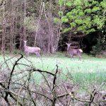 Noch zwei Alttiere, die ich hier auf einer großen Äsungsfläche (Wildwiese) angetroffen habe.