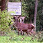 Neugierig und vorsichtig in einer Seitenschneise sichernd: 2 Alttiere (= weibliches Rotwild)
