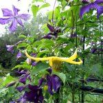 """Die blaue Clematis viticella """"Aotearoa"""" und sie gelbe Clematis orientalis x serratifolia """"Helios"""" wachsen bei mir zusammen in enem Pflanzobelisken"""
