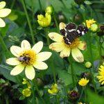 Auch nicht gefüllte Dahlien sind Insektenpflanzen