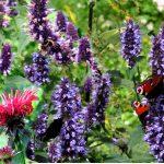 Agastache rugosa - ein absoluter Magnet für Schmetterlinge, Hummeln und andere Blütenbesucher