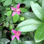 """Clematis texensis """"Princess Diana"""" lugt aus dem Rhododendron hervor, den sie hoffentlich ganz erobern wird"""