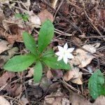 Der Siebenstern oder Waldsiebenstern ist ein kleines Blümchen, von dem man vom späten Frühjahr bis in den Sommer hinein blühende Exemplare finden kann.