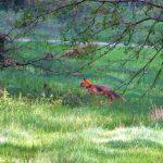 Auch dieser Fuchs war am hellichten Tage unterwegs